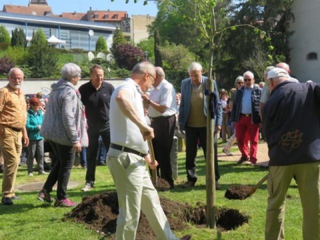 Plantation d'un frêne sur le parking du 23 Novembre